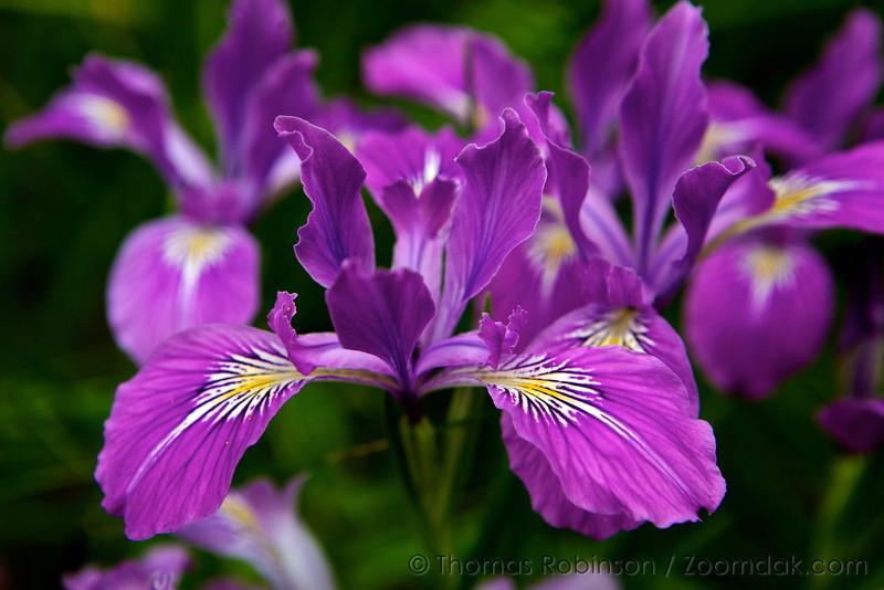 A bouquet of Oregon Irises (Iris tenax) in spring bloom in Corvallis, Oregon.