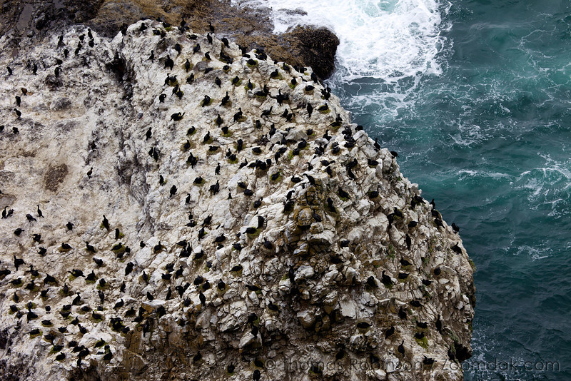 A rookery of pelagic cormorants (Phalacrocorax pelagicus) nests upon guano covered cliffs along the Oregon Coast. They use their own guano to glue and build thier nest along cliffs. <br /> <br /> Cormorants can dive down to about 100 feet in depth to feed.