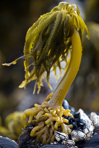 A Sea Palm Kelp (Postelsia palmaeformis) waits for the tide to come back in at Yachats State Park. Sea Palm Kelps are one of the few algae that can stay standing without water.