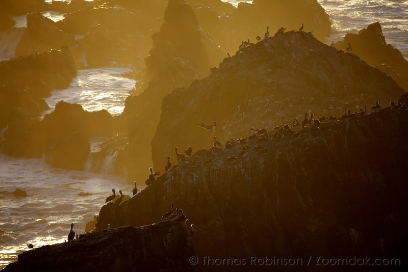 A colony of Brown Pelicans  (Pelecanus occidentalis) nest in the golden sunset light among Sea Lion Rocks along the Oregon Coast.