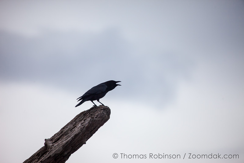 Crow Caw, Oregon Coast