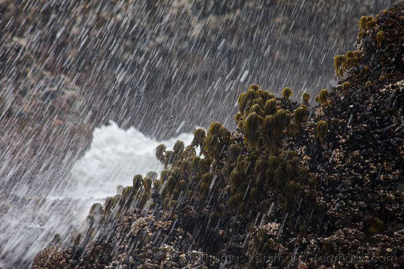 The splash of a large wave rebounds in droplets onto Sea Palm Kelps (Postelsia palmaeformis) during low tide at Yachats State Park.