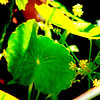 Manyflower C (Hydrocotyle Umbellata-native, aquatic plant that thrives in wet, sandy environments)