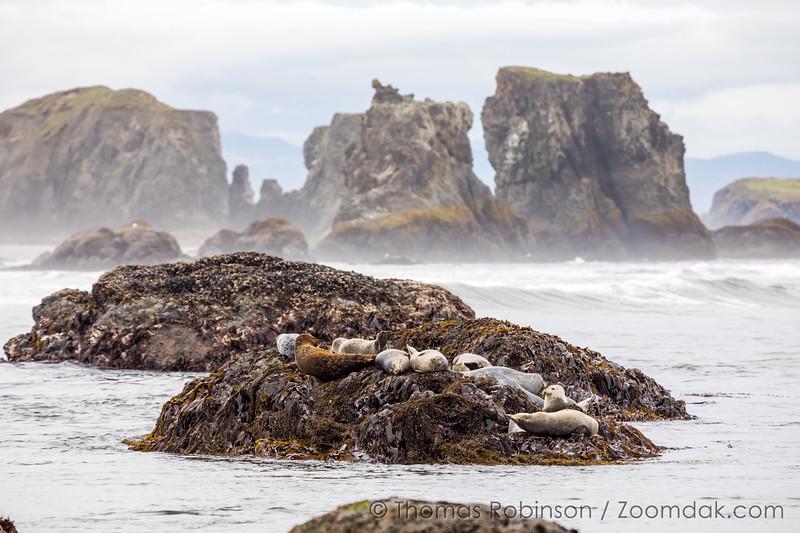 Oregon Coast Seal Colony