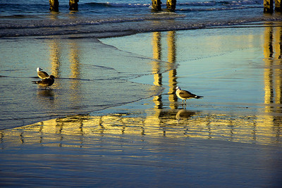 Birds La Jolla Shores