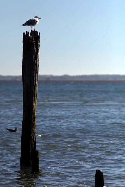 Lone Seagull.