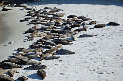 A Gaggle of California Seals