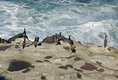 Cormorants debate a Dip
