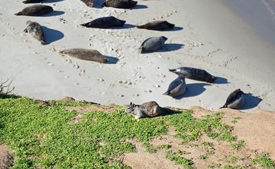 Grey Squirrel has the Run of the Beach