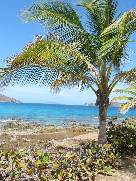 Palm Tree, St. Thomas,USVI