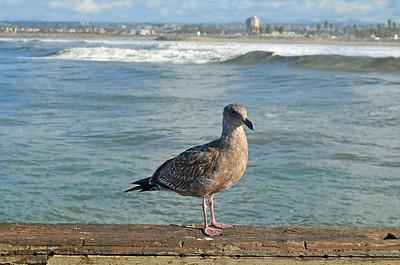 Aloha, Seagull