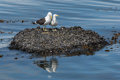 Kelp gulls on mussels