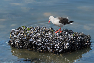 Dolphin gull on mussels