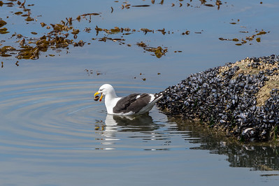 Kelp gull with shellfish