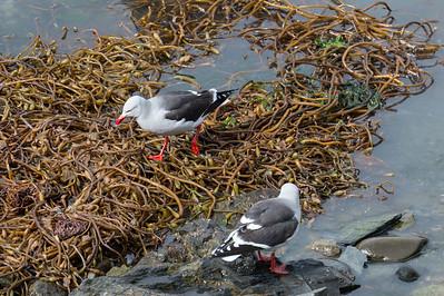 Dolphin gulls in kelp