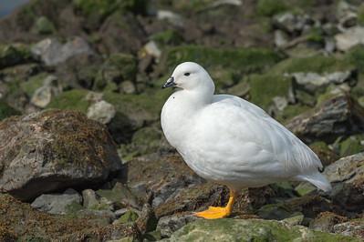 Kelp goose, male