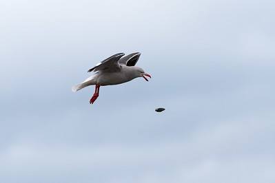 Dolphin gull dropping mussel