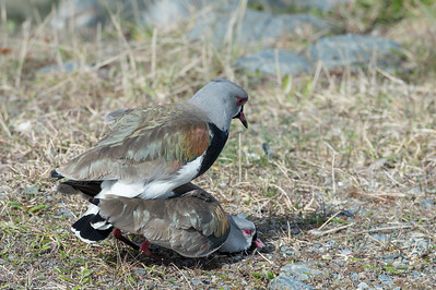 Southern lapwings mating