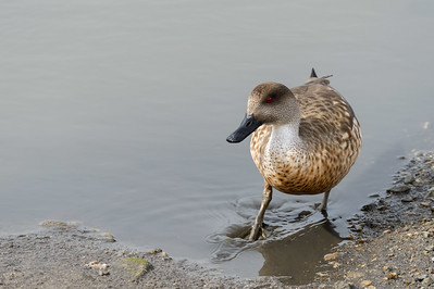Crested duck