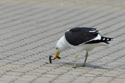 Kelp gull with mussel