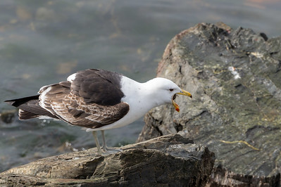 Kelp gull swallowing chiton