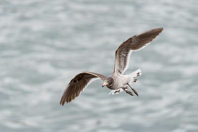 Dolphin gull, juvenile