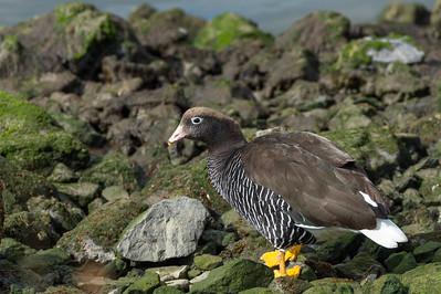 Kelp goose , female