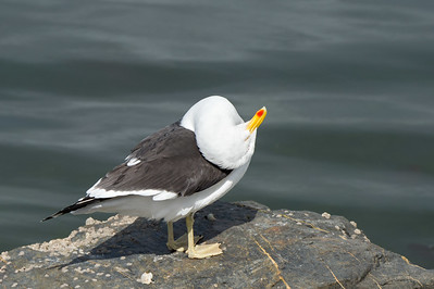 Kelp gull preening