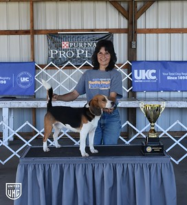 Hunting Beagle World Show Opposite Sex