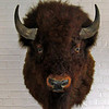 Bison mounted on the wall