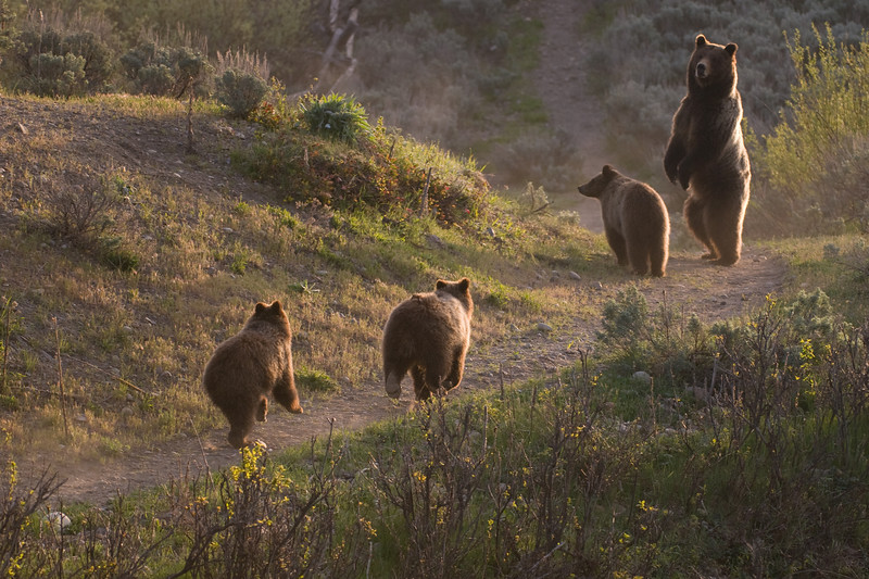 "Photo in the latest edition of The Jackson Hole Magazine in the feature article ""A Bear Story, the Saga of #399"".<br />  <br /> Bear 399 with her cubs running. Jackson Hole, Wyoming"