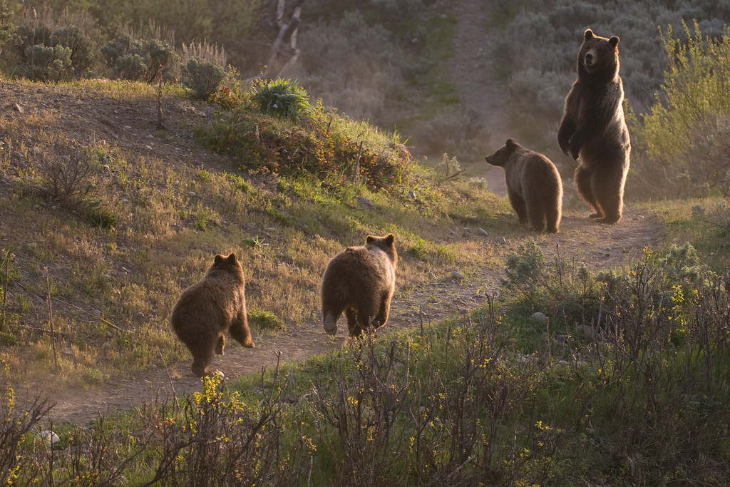 """Photo in the latest edition of The Jackson Hole Magazine in the feature article """"A Bear Story, the Saga of #399"""".<br />  <br /> Bear 399 with her cubs running. Jackson Hole, Wyoming"""