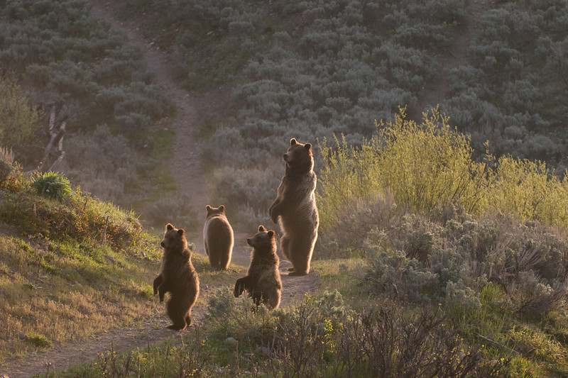 "Cover Photo of Jackson Hole Magazine Summer 2008 with the feature article on ""A Bear Story the Saga of #399"".<br /> <br /> Bear 399 with her cubs standing. Jackson Hole, Wyoming"