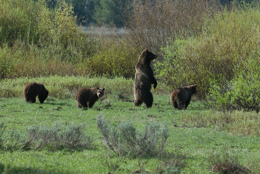 Bear 399 with Cubs looking for food.