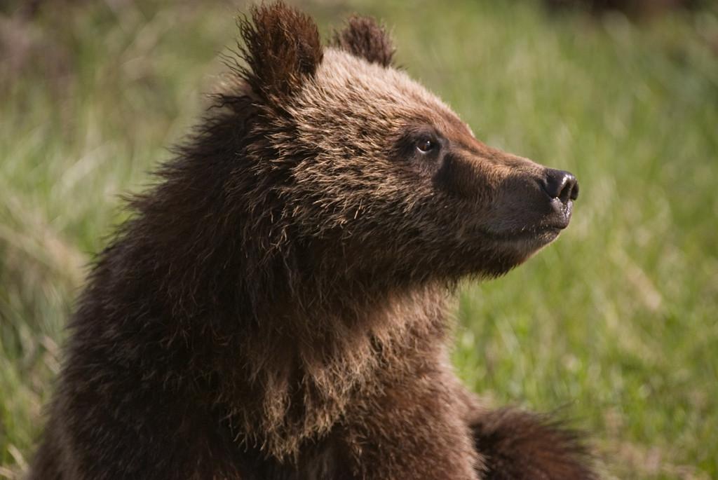 Bear 399 Cub.
