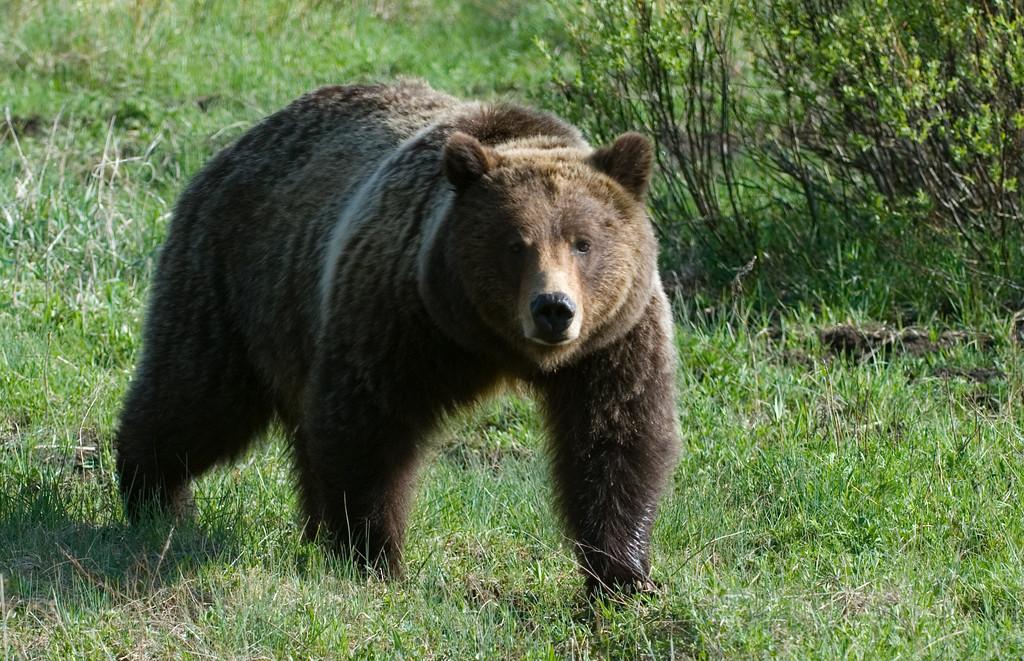 Bear 399 Jackson Hole, Wyoming