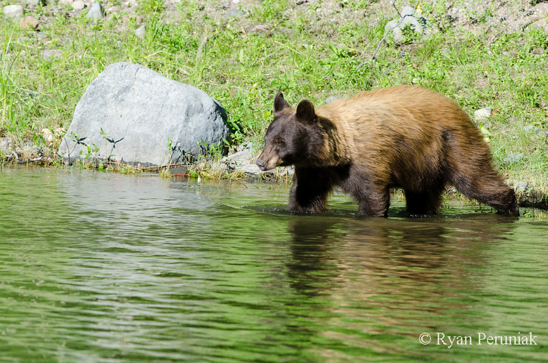 Without any hesitation, Mom led the way into the water as the cub watched from shore.