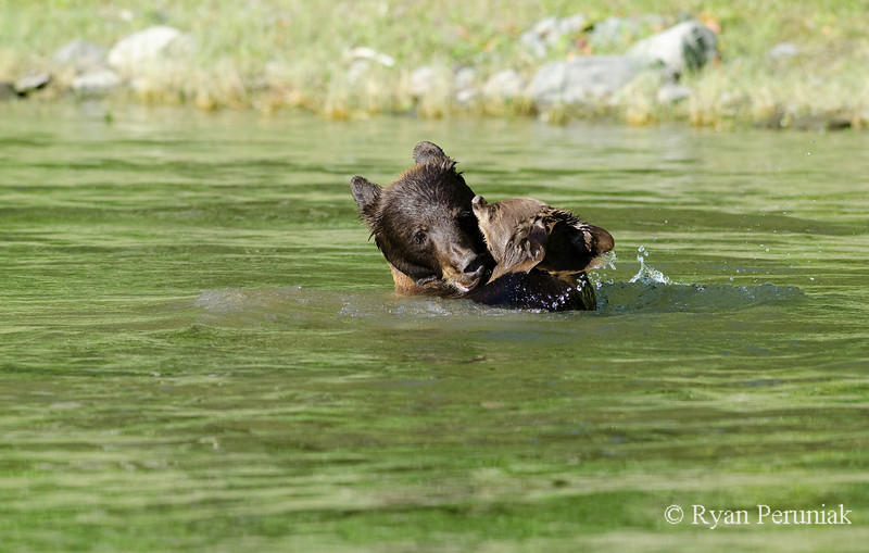 As incredible as it was to watch the bears swimming and splashing around together, the most exceptional moment came at the end when mother bear stopped to give her cub a big hug to wrap up the fun.