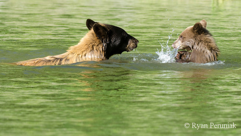 The cub tries to fend off the assault by splashing back!