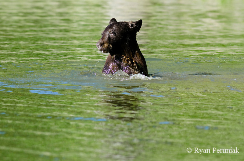 Mom looks around smugly as she dunks her cub underwater with one big paw.