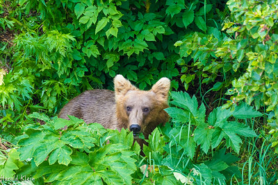 One of our first bears...grazing on the lush green plants