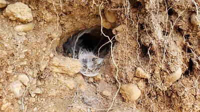 Bank swallows nesting holes