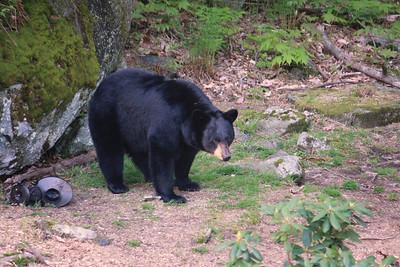 Big Black Bear at Feeder