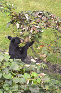 Black Bear Sniffing Grapes