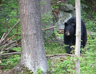 Male Bear Entering Yard