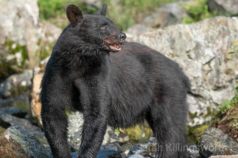 black bear at the creek