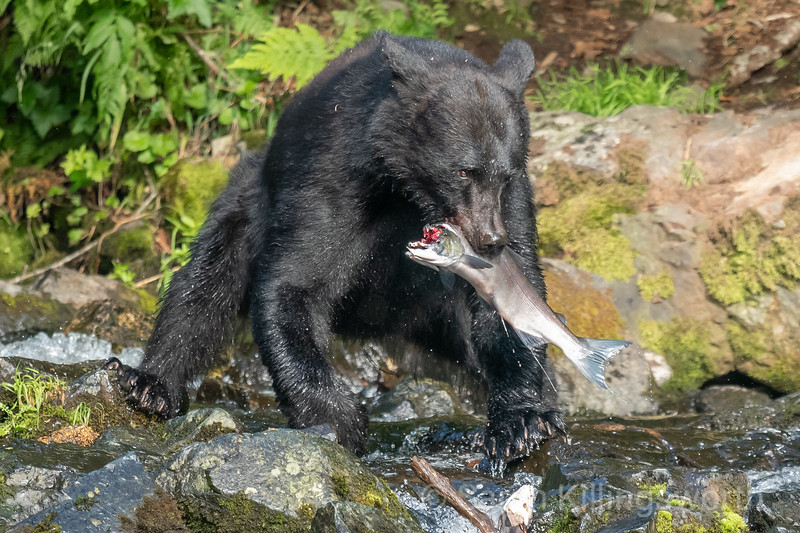 black bear with a salmon