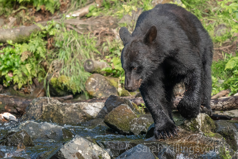 black bear on the hunt