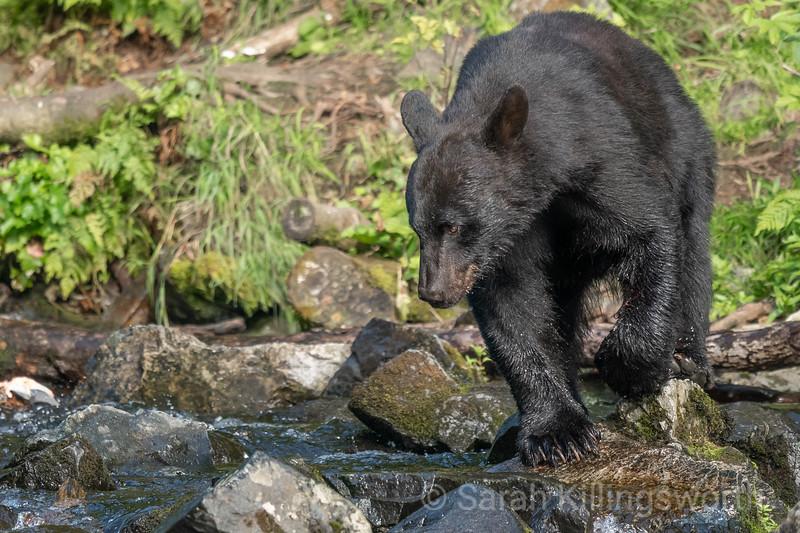 black bear on the hunt