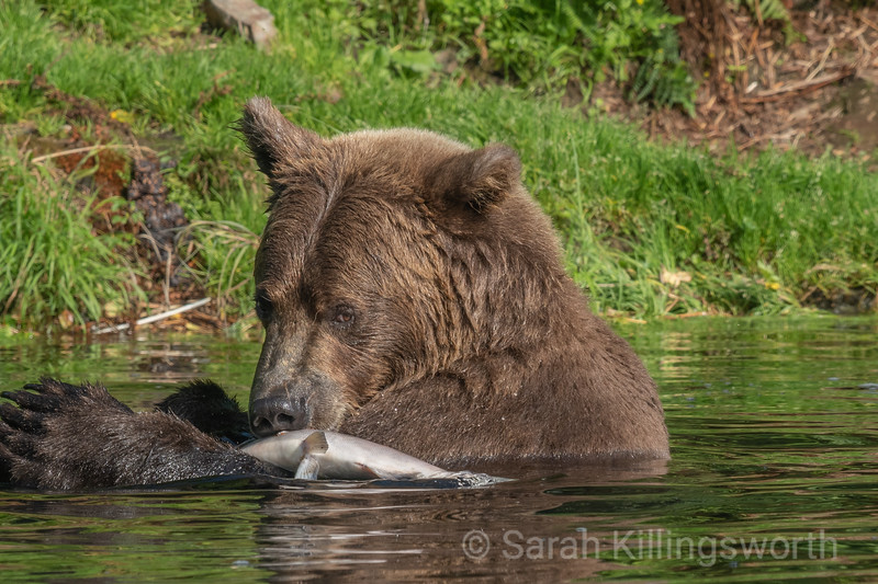 grizzly bear with lunch